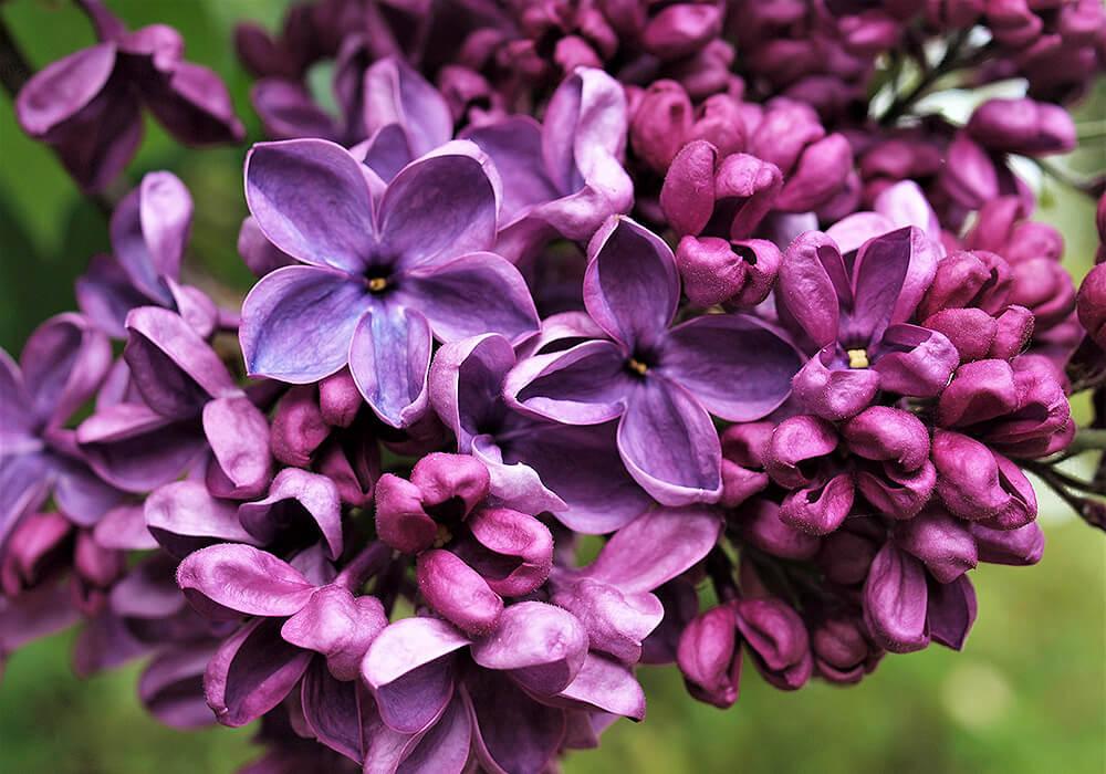 ラッキーライラックの花