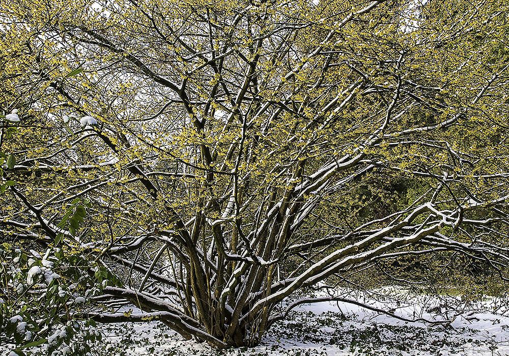 マンサクの木