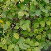 マンサクの葉