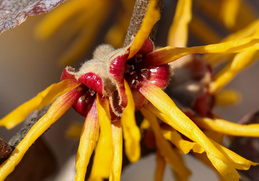 マンサクの花の拡大