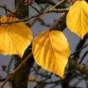 マンサクの黄葉