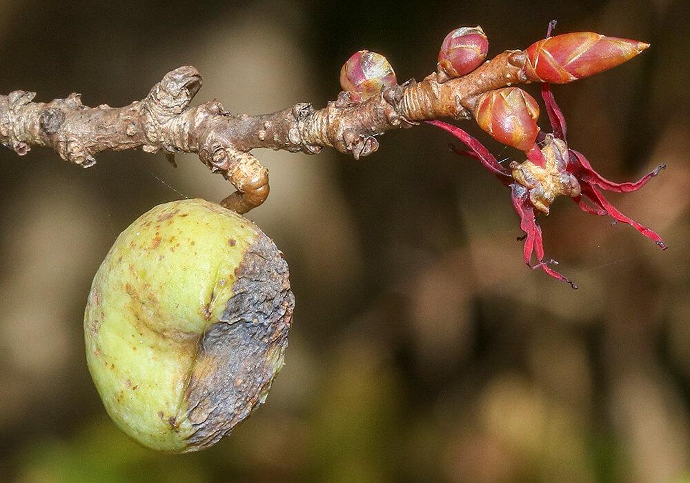 マルバノキの果実