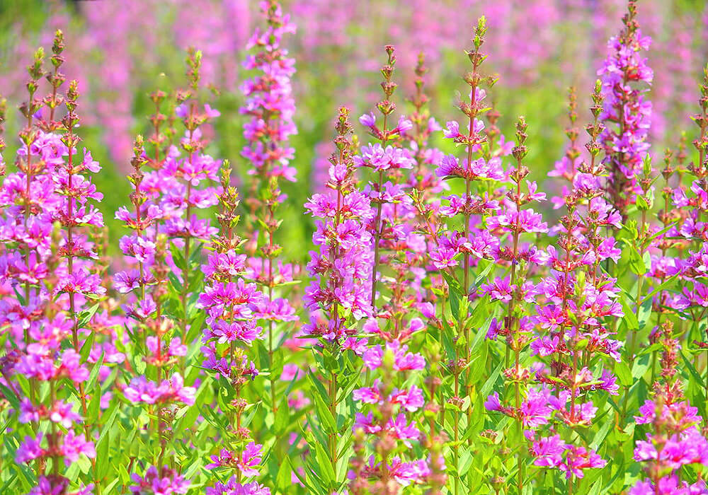 ミソハギの花畑