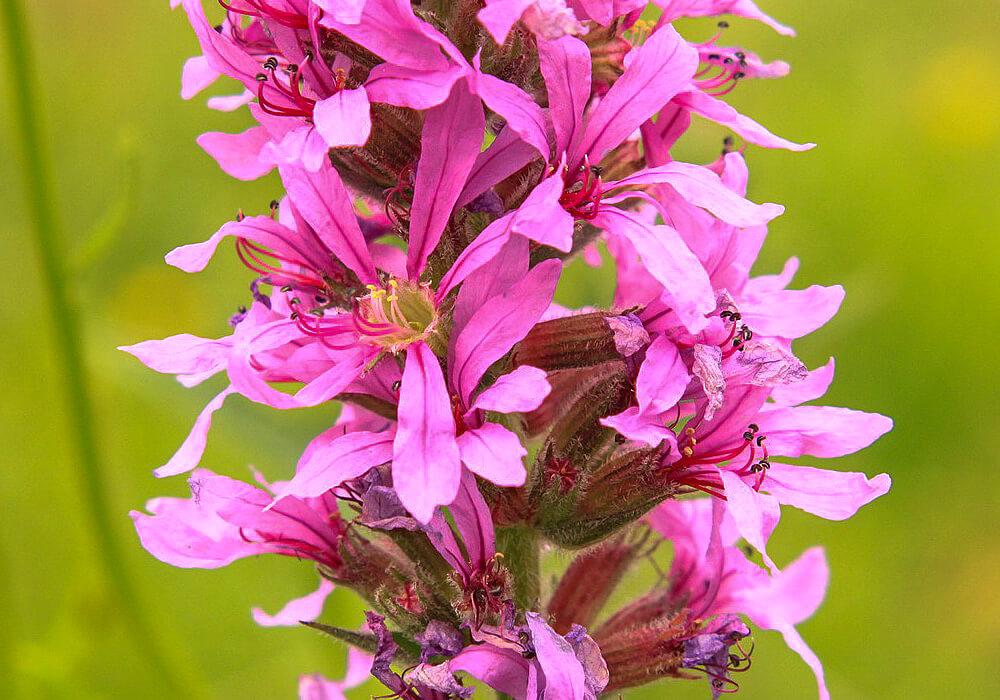 ミソハギの花の拡大