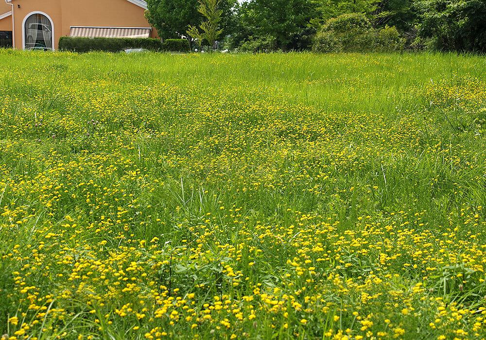 ミヤコグサの花畑