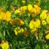 ミヤコグサの花