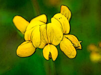 ミヤコグサの植物図鑑と育て方