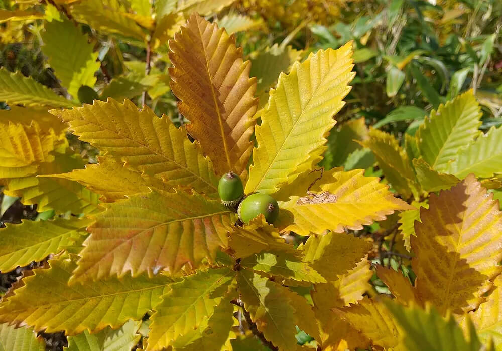 ミズナラの黄葉した葉