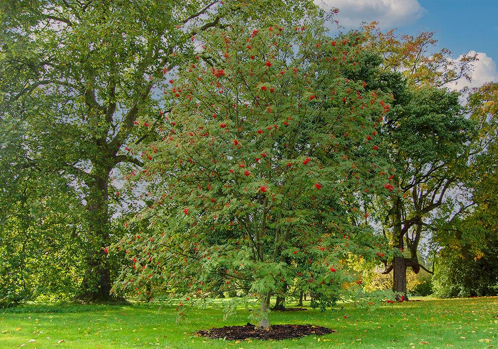 ナナカマドの木