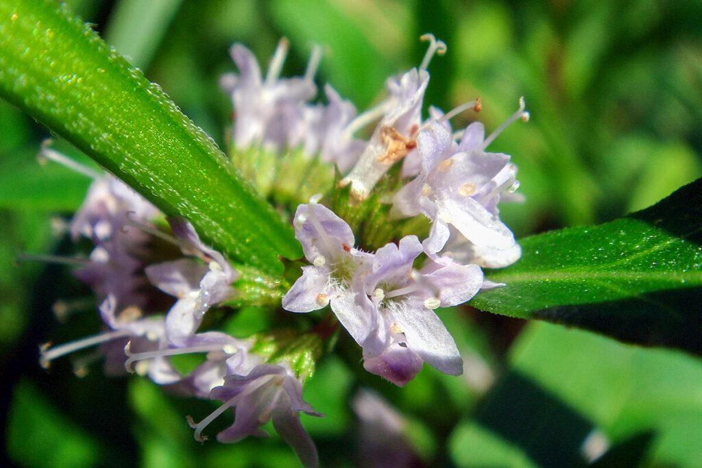 ニホンハッカの花の拡大