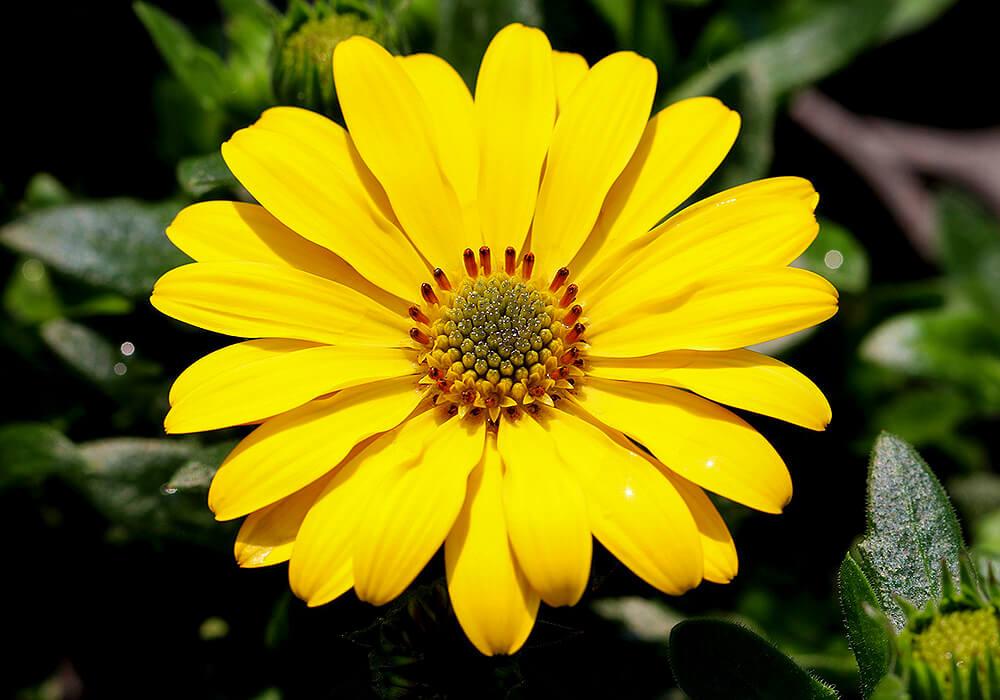 黄色のオステオスペルマム