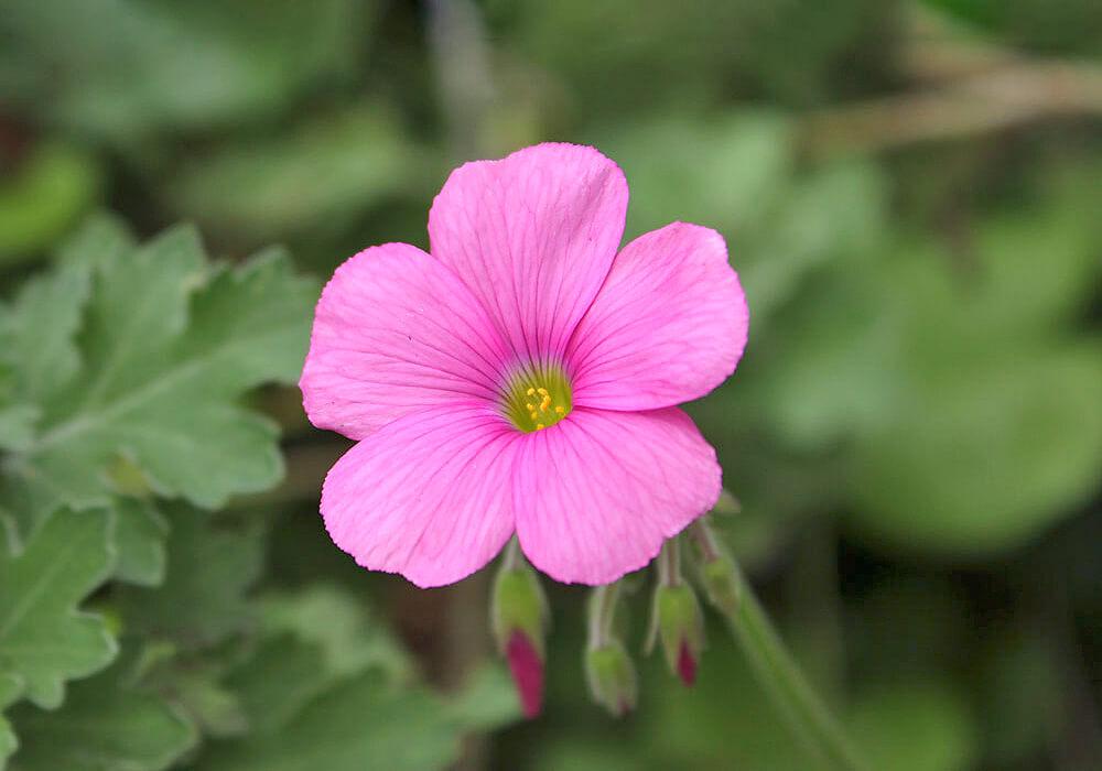 オキザリスのピンクの花