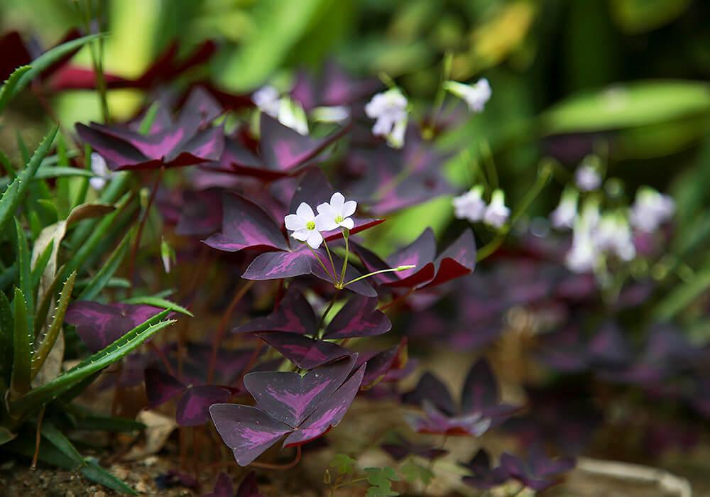 オキザリスの白い花