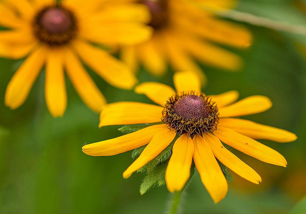 ルドベキアの花の拡大