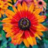 ルドベキアのオレンジの花