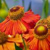 ルドベキアの花芯