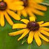 ルドベキアの植物図鑑と育て方