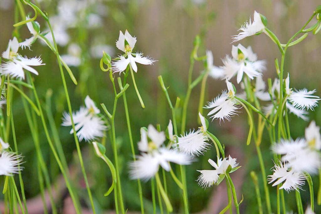 サギソウの茎と花
