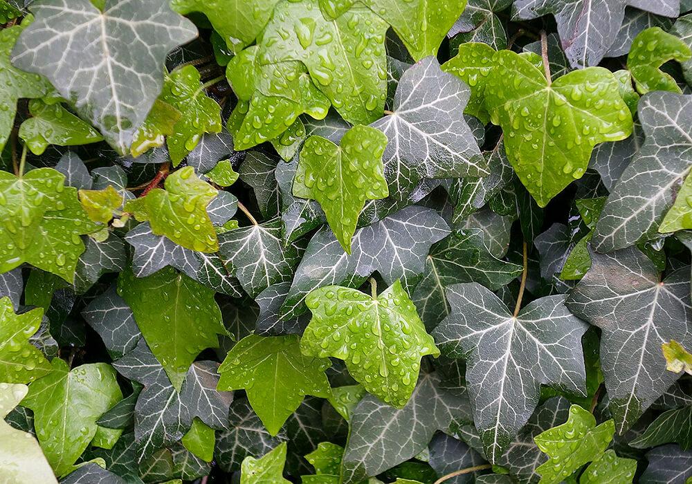 セイヨウキヅタの葉