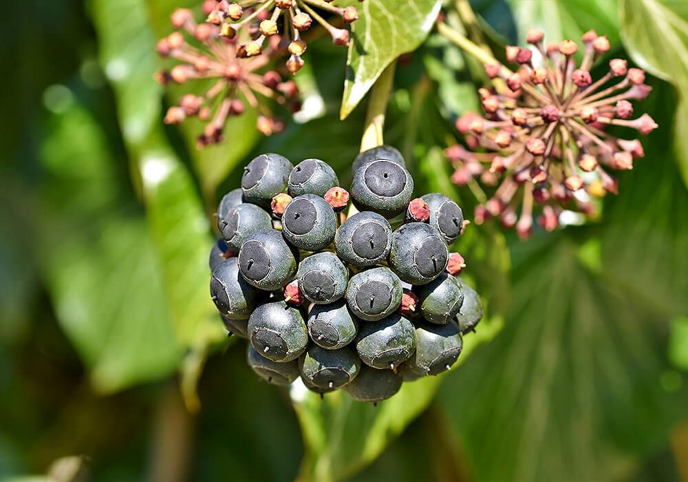 セイヨウキヅタの果実