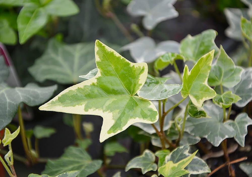 セイヨウキヅタの班入りの葉