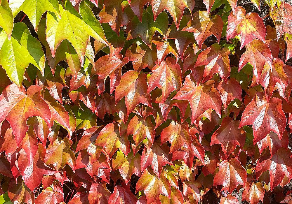 セイヨウキヅタの紅葉