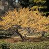シナマンサクの木
