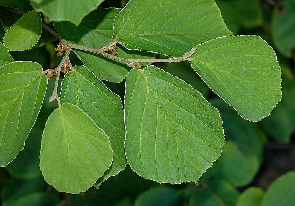 シナマンサクの葉