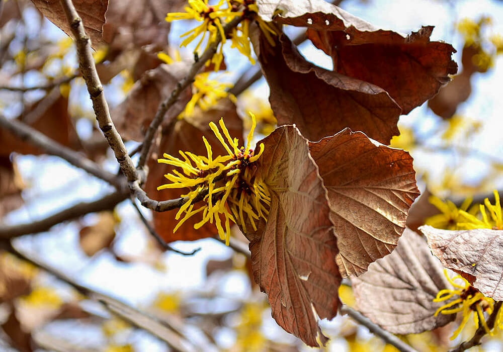 シナマンサクの花と葉