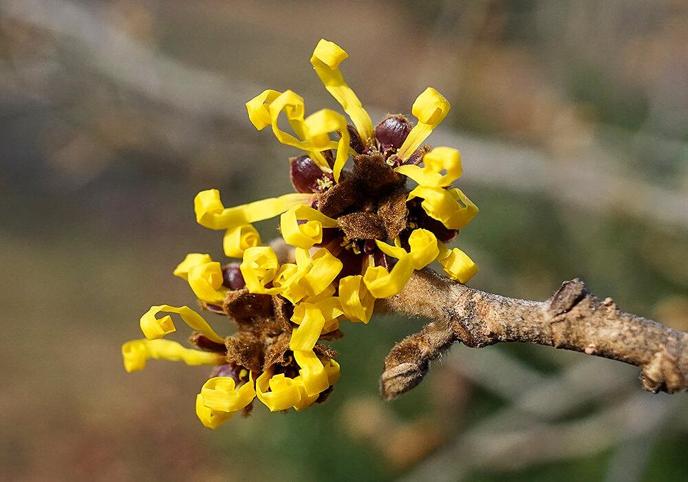 シナマンサクの花の拡大