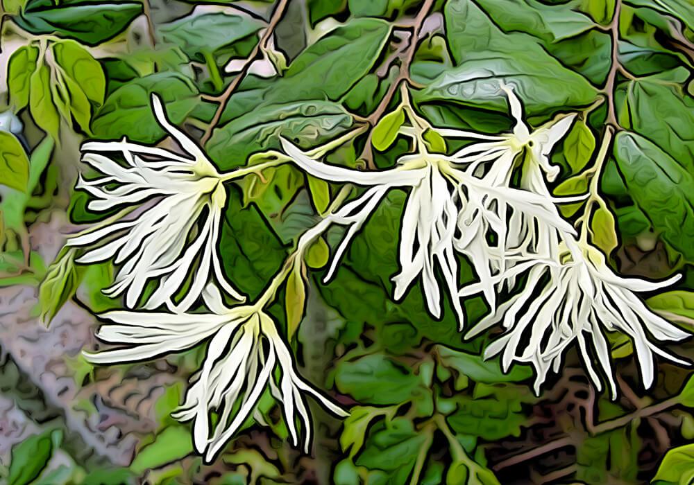 トキワマンサクの植物図鑑と育て方