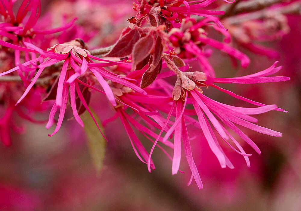 ベニバナトキワマンサクの花