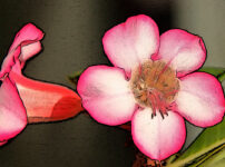 アデニウムの植物図鑑と育て方
