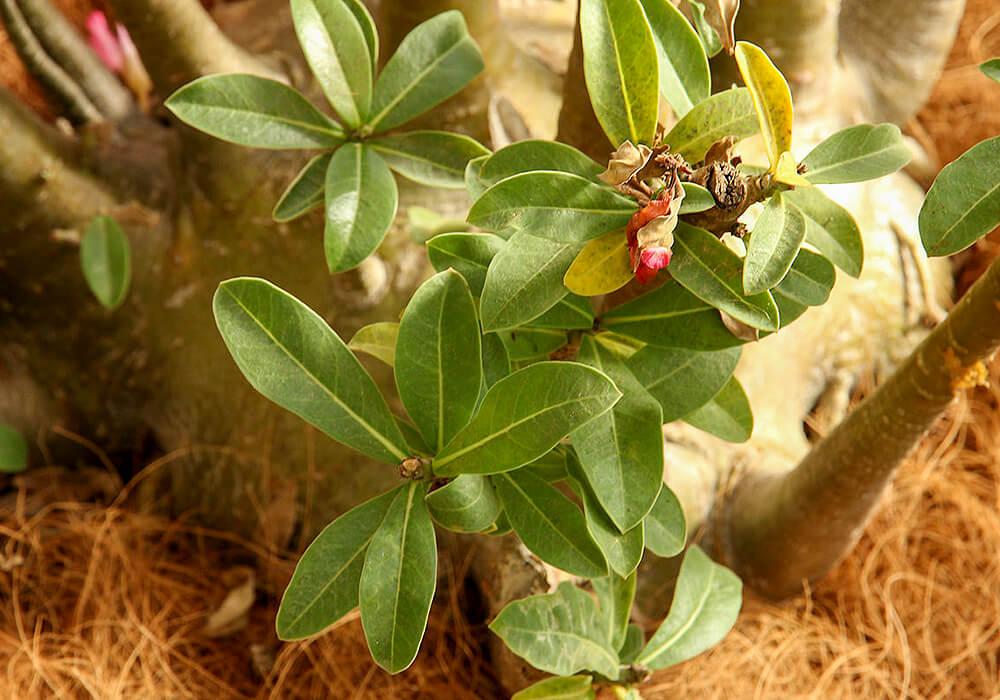 アデニウムの葉