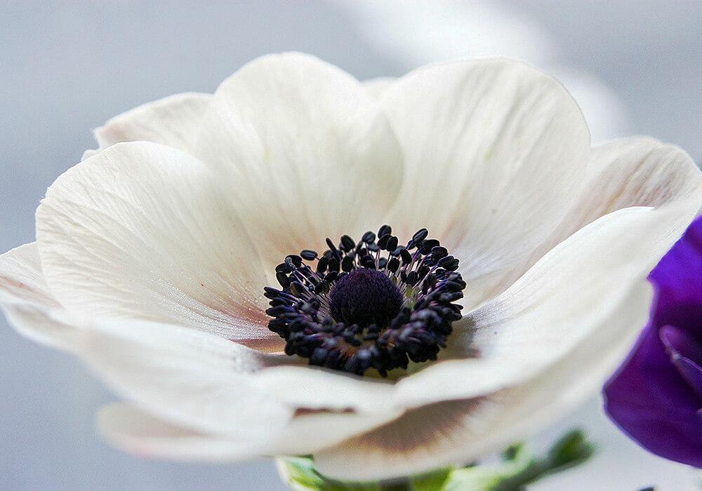 アネモネの白い花