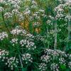 アニスの植物図鑑と育て方