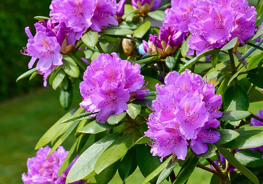 アザレアの紫の花