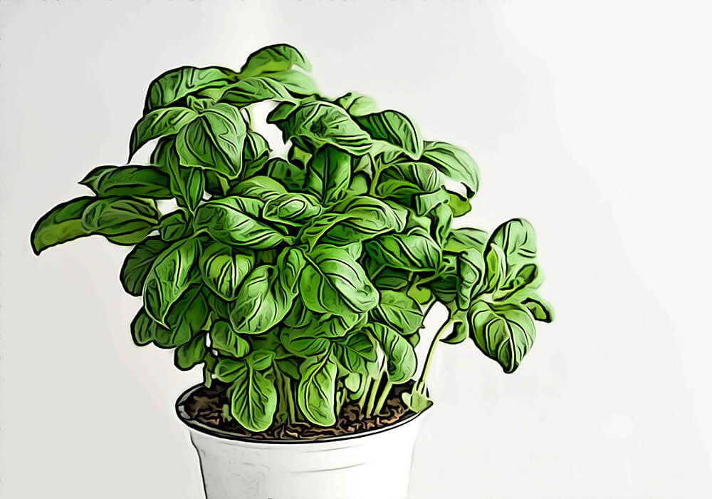 バジルの植物図鑑と育て方