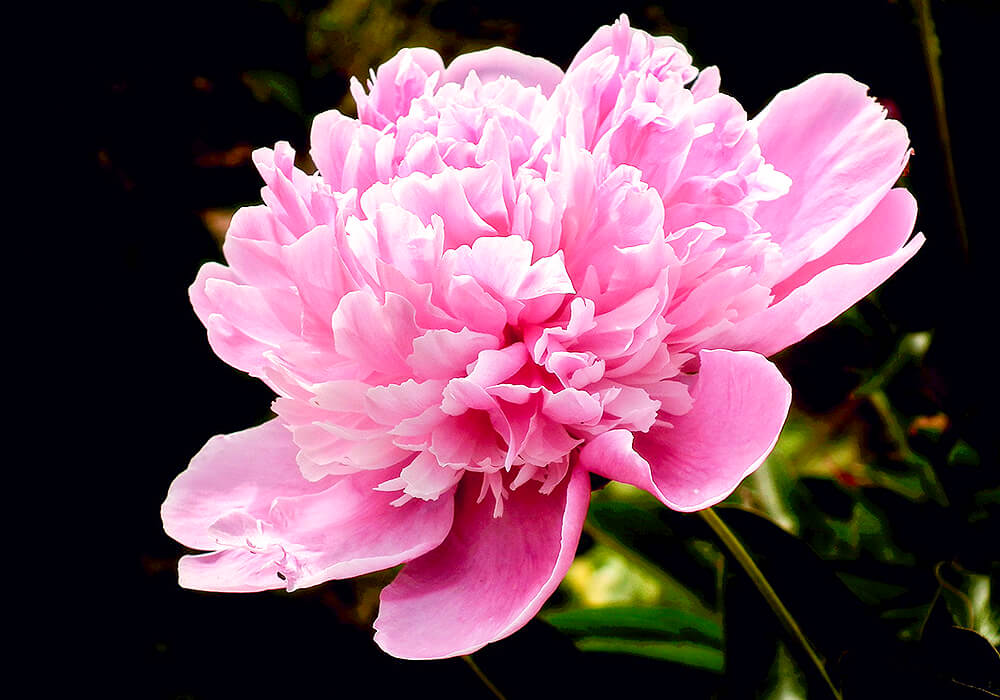 ボタンのピンクの花