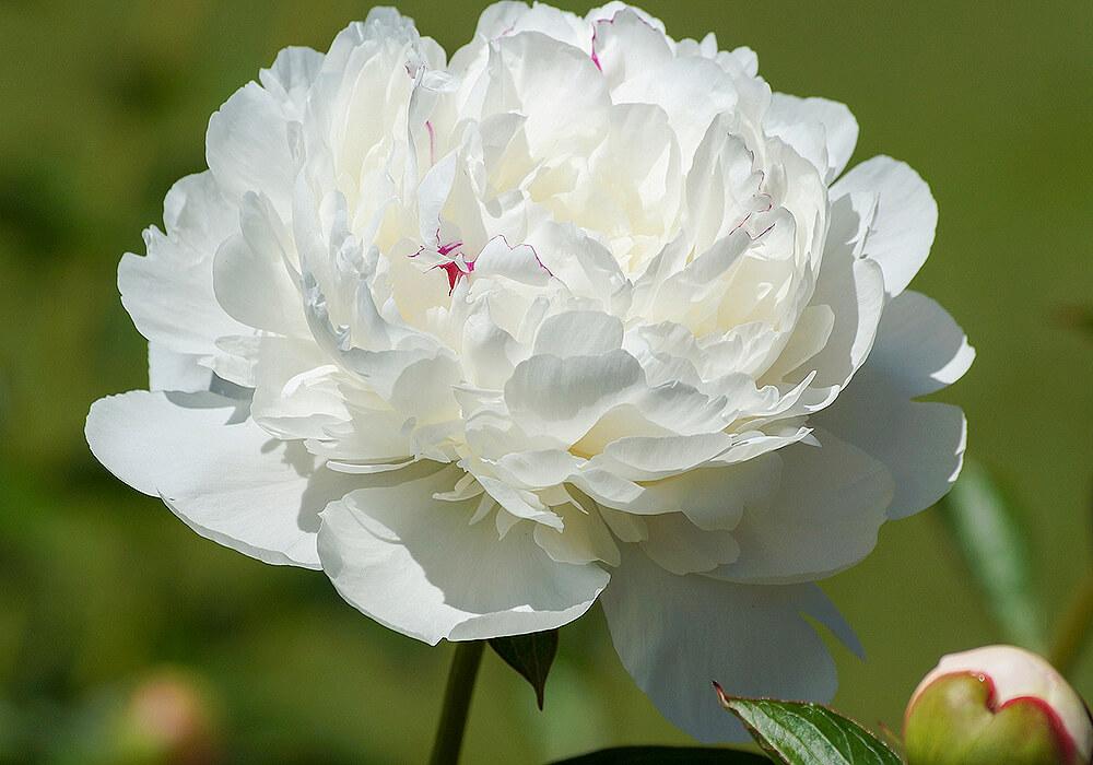 ボタンの白い花