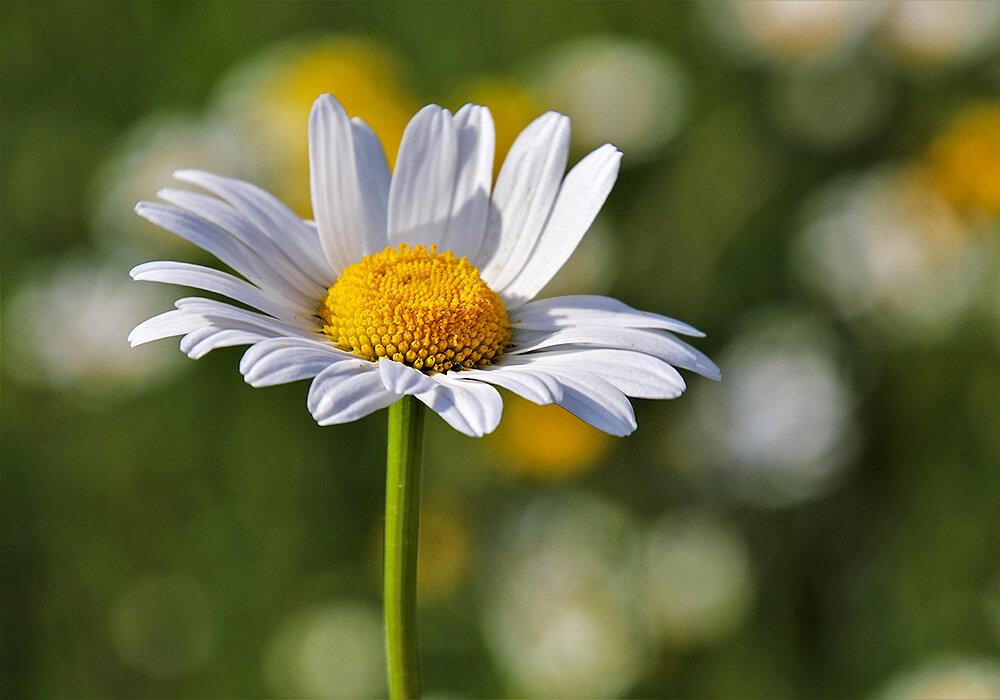カモミールの花の拡大