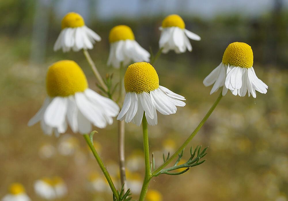カモミールの筒状花