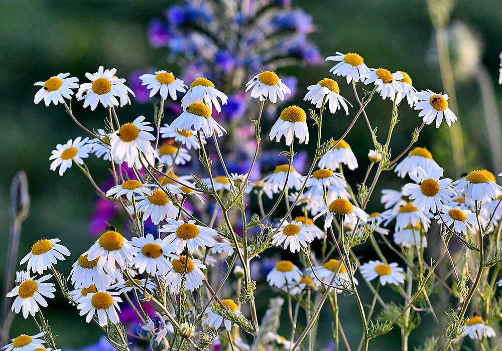 カモミールの茎と花