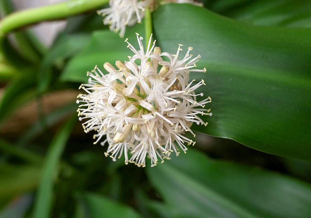 ドラセナの花の拡大