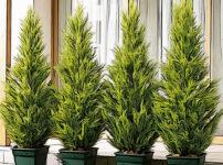 ゴールドクレストの植物図鑑と育て方