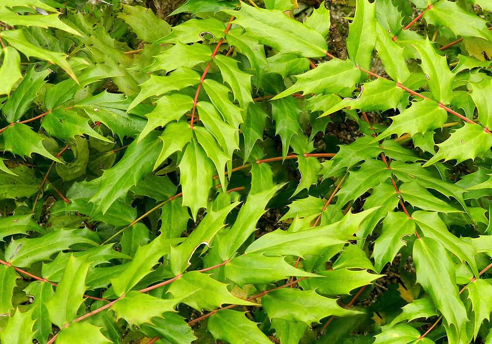 ヒイラギナンテンの葉