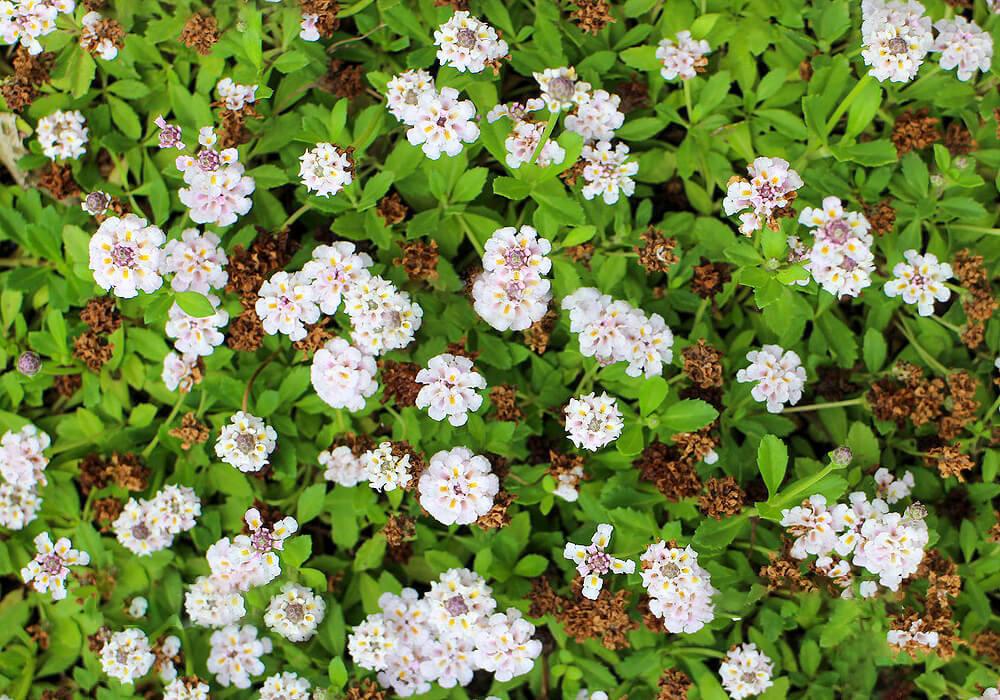 ヒメイワダレソウの花畑