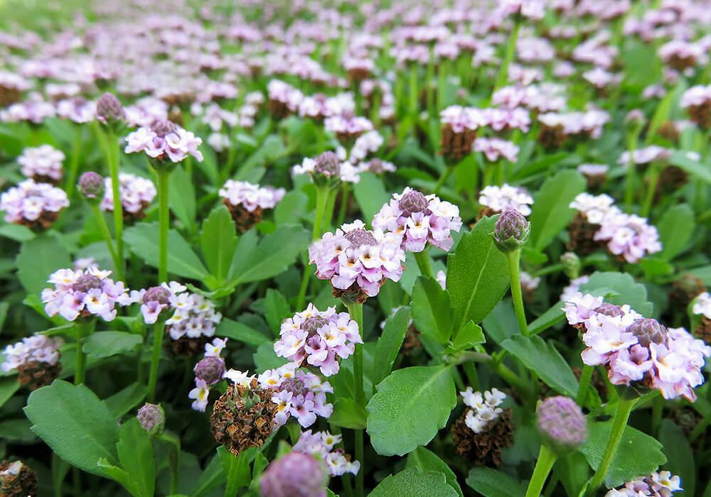 ヒメイワダレソウの花と葉