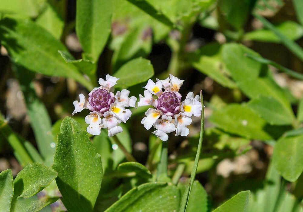 ヒメイワダレソウの花