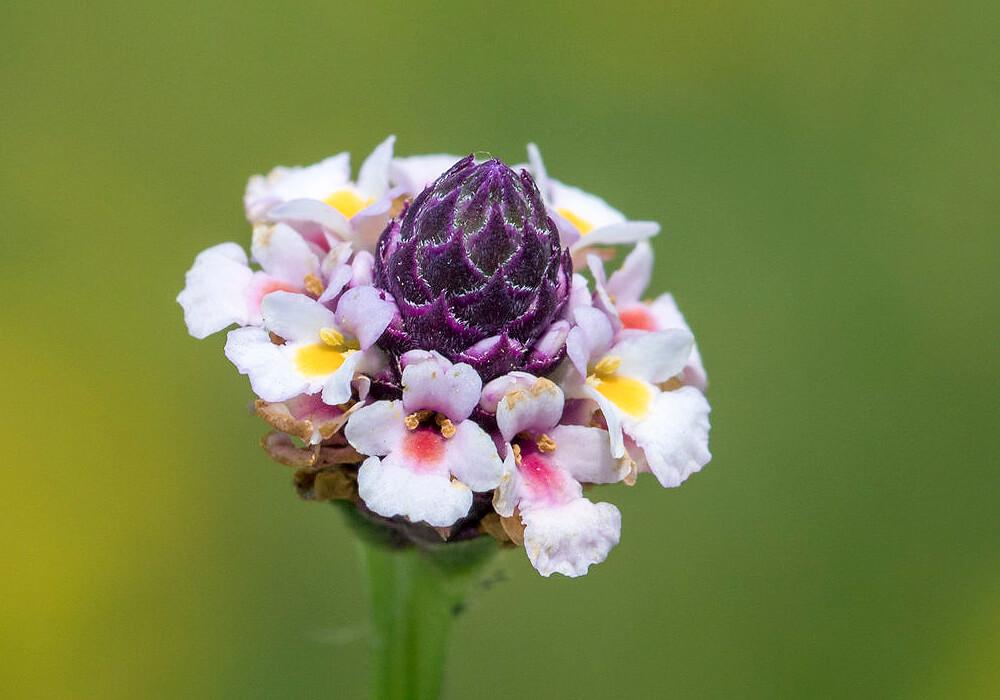 ヒメイワダレソウの花の拡大
